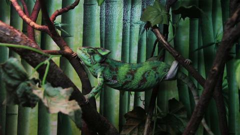 chameleon climbing on the tree Footage