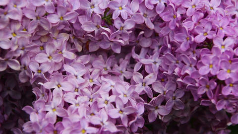Lilac flowering at the springtime. Macro Footage