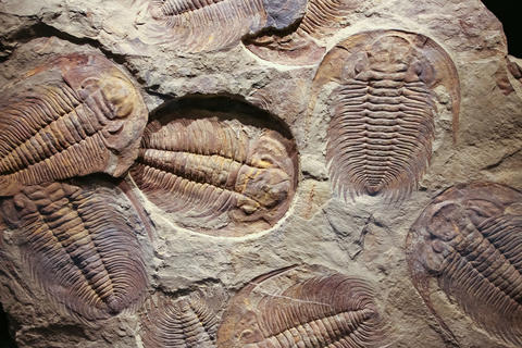 fossil trilobites imprinted in the sediment. 4 Billion Year old Trilobite Photo