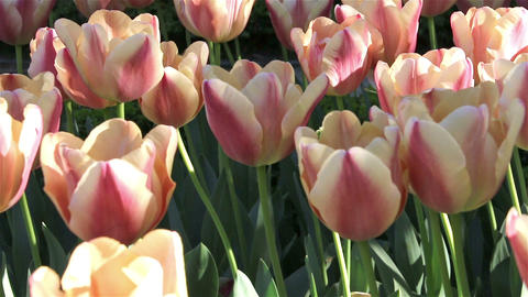 Beautiful pink tulip background Footage