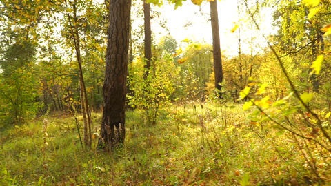 Sunny autumn forest and fallen leaves, back view, smooth steadicam shot Footage