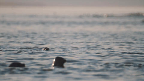 Seals pack floating in ocean water with head above surface Footage