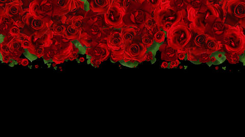 Red Roses Wipe Transition with alpha channel Animation