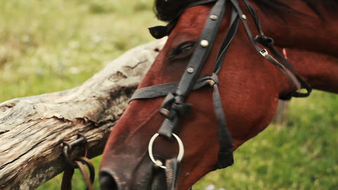Brown horse in bridle on the green field tied to the fence. Nature. Animal Footage