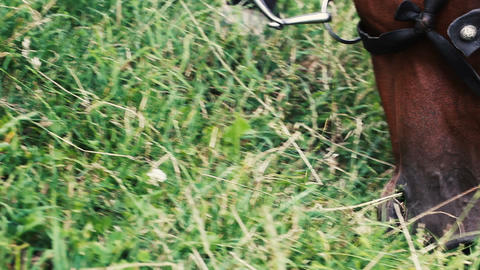 Brown horse in bridle eating lush grass and white flowers on field. Summer day Footage