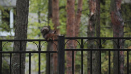 Little squirrel sitting on black fence in green park. Nature. Trees. Rodent Footage