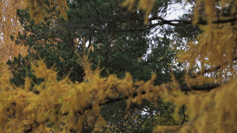 Coniferous tree with yellow leaf in autumn day. Park. Green trees. Nature Footage