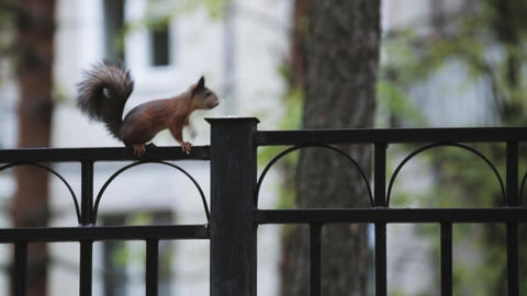 Little squirrel run on black fence in green park. Nature. Trees. Rodent Footage