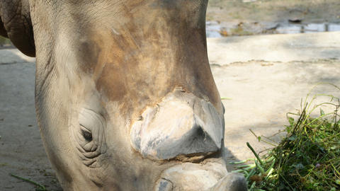 Rhinoceros Eating Grass Footage