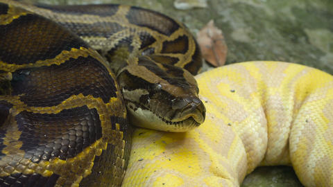 Yellow Reticulated python Live Action