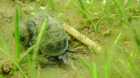 Viviparus river snail moving in lake bottom Live Action