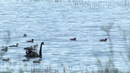 Black Swan and Ducks on a Lake Footage