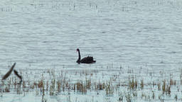A Black Swan on a Lake Footage