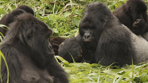 a family of gorillas the zoo Footage