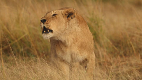 Lioness in the African savannah (close-up) Footage