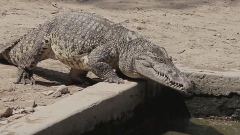 Nile crocodile goes to the pond (250 fps) Footage
