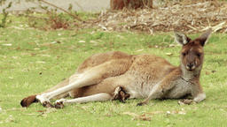 Kangaroo Relaxing Lying On Grass Footage