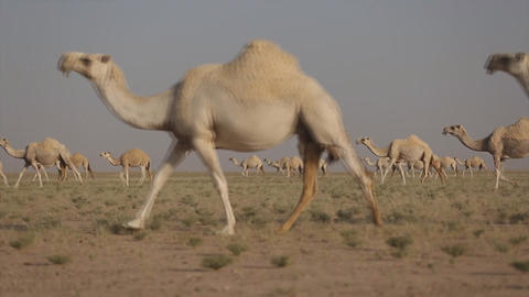 A herd of camels in the desert Footage