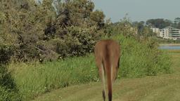 Kangaroo Jumping Away Footage