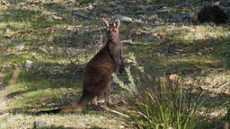 Wild Kangaroo Standing and Looking Footage