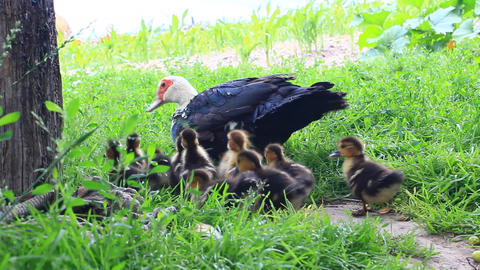 Muscovy duck hen with ducklings go in the poultry Live Action
