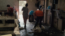 Busy Shearing Shed Footage