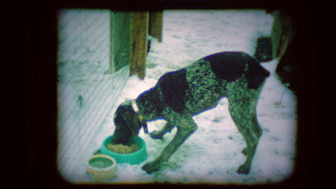 Archival footage of a bird dog eating and running Live Action
