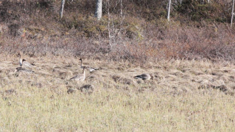 Forest-breeding Bean Geese feed Live Action