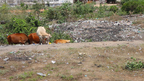 Beautiful cows on roadside among garbage heaps Footage