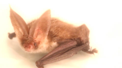 Brown long-eared bat on white background Live Action