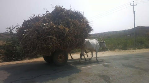 Zebu cows are not sacred in India and used in farming ビデオ