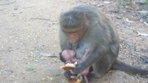 Macaque Baby sucker broke away from mother's breast and scratching at big ear Footage