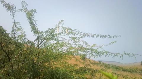 Graceful shrub acacia Live Action