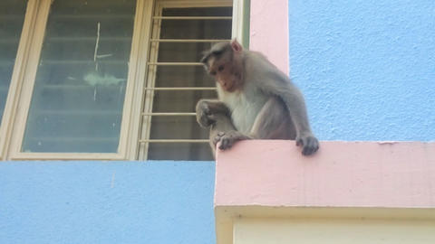 Life of Indian monkeys Live Action
