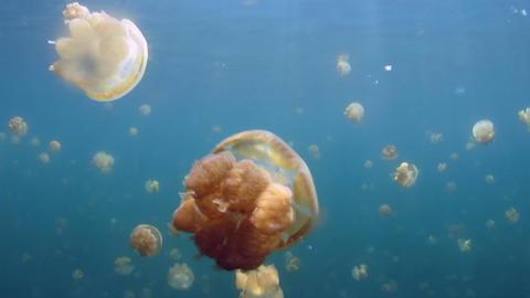 accumulation of jellyfish underwater Footage