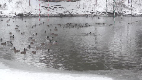 many gray wild ducks in winter on a frozen pond in the city, swim in the Footage