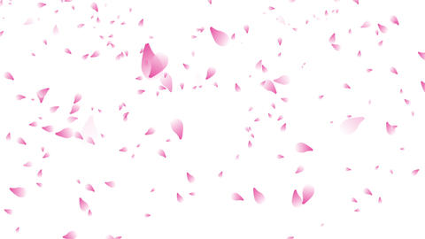 many cherry blossom petals falling white background Stock Video Footage