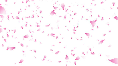 many cherry blossom petals falling white background Animation
