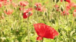 Red Poppy Flowers Footage