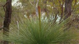 Grasstree (Balga plant) In Native Bushland Footage