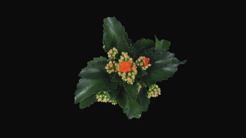 Time-lapse of opening orange kalanchoe flower with ALPHA channel, top Footage