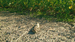Bobtail Resting in the Warm Sunlight Footage
