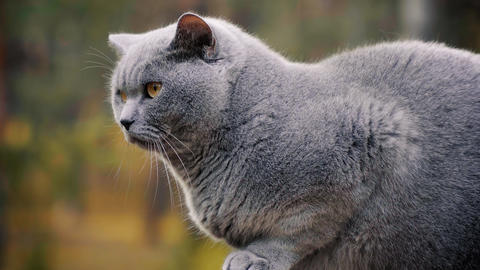 Gray British cat posing in the forest Footage