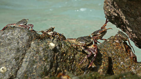 Crabs sit on coastal stones, between sea waves Footage