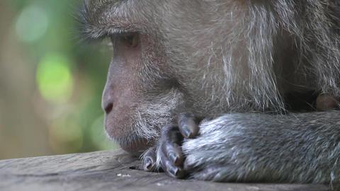 Monkey Face Footage