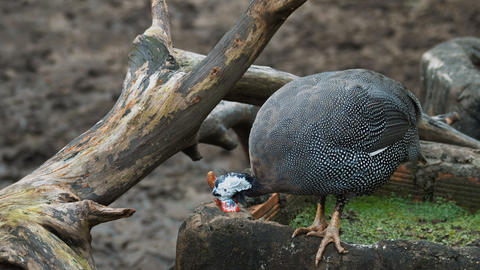video of the helmeted guineafowl Live Action