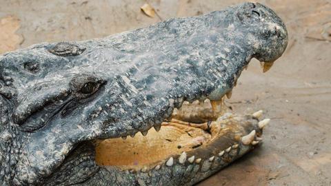 Big crocodile on the river bank Live Action