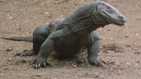 large Komodo dragon (close-up) Stock Video Footage