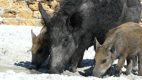 Big wild boar and piglets drink fresh water on a sea coast in slo-mo Live Action