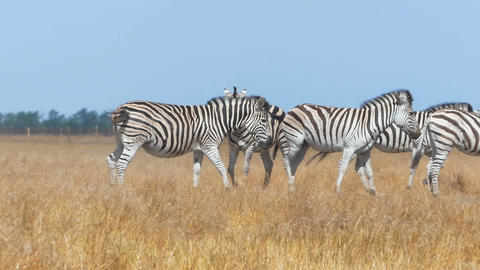 Herd of zebras in a yellow steppe in Ukraine in summer in slo-mo Footage